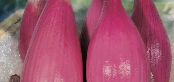 cipolla tropea rossa lunga