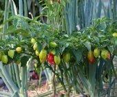 coltivare il Peperoncino