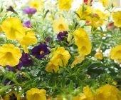 coltivare la Calibrachoa