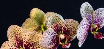 coltivare la Phalaenopsis
