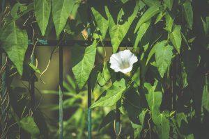 piante rampicanti per il terrazzo