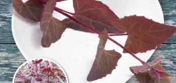 Bietolone Rosso