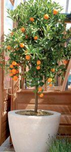 frutteto in vaso