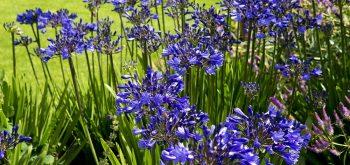 piantare i bulbi estivi
