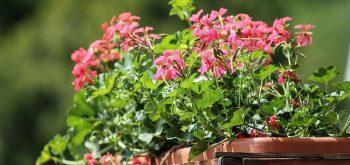 piante per un terrazzo fiorito in primavera