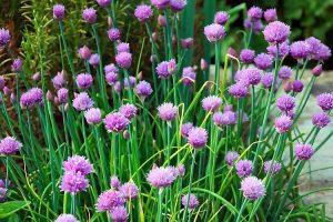Coltivare le aromatiche in vaso