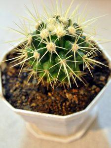 coltivare i cactus