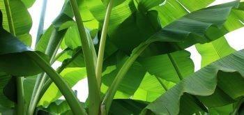 coltivare il Banano