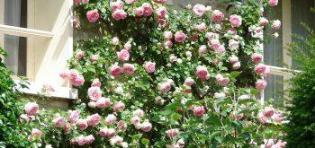coltivare le Rose rampicanti