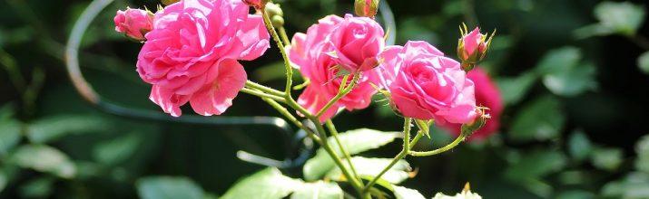 coltivare le Rose in miniatura