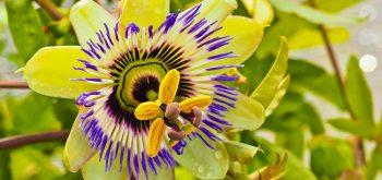 Coltivare la Passiflora