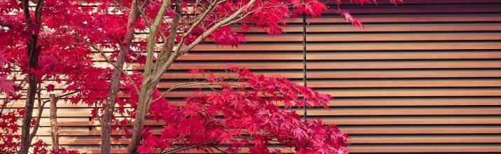 coltivare gli Aceri giapponesi