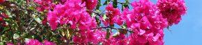 coltivare la Bougainvillea