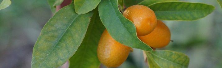Coltivare il Kumquat