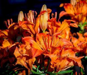 Giardinaggio con i bambini - Lilium bulbiferum