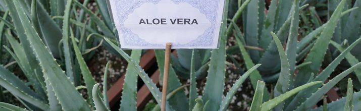 coltivare la Aloe