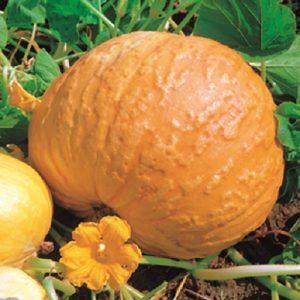 coltivare le Zucche - Zucca Big Max