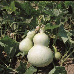 coltivare le Zucche - Zucca Bottiglia
