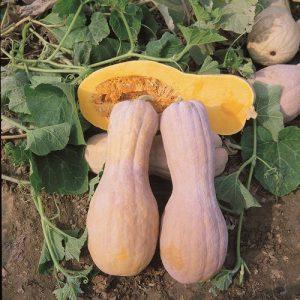 coltivare le Zucche - Zucca Butternut Rugosa