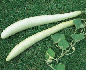 coltivare le Zucche - Zucca Lageriana da Pergola Lunghissima