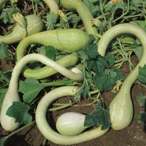 coltivare le Zucche - Zucca di Albenga o Trombetta