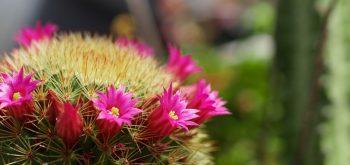 curare i Cactus