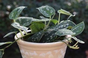coltivare il Filodendro - Filodendro scandens