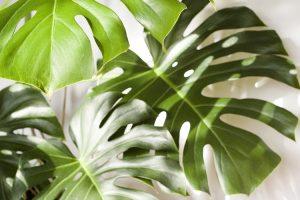 coltivare il Filodendro - Philodendron pertusum - Monstera deliciosa