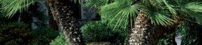 coltivare la coltivare la Chamerops