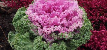 coltivare i Cavoli ornamentali