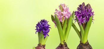 coltivare i bulbi primaverili