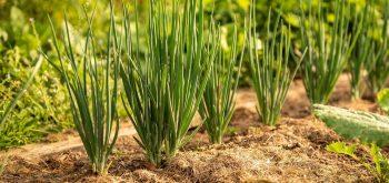 coltivare le cipolle