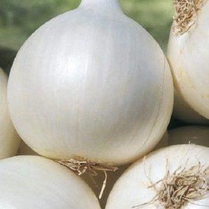 coltivare le cipolle - Cipolla Agostana