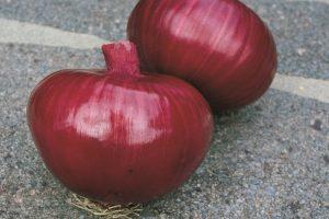coltivare le cipolle - Cipolla di Bassano