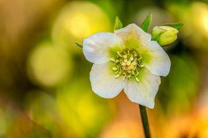 terrazzo invernale fiorito - Elleboro