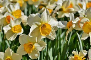 terrazzo invernale fiorito - Narcisi