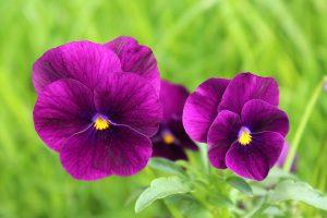 terrazzo invernale fiorito - Viola del pensiero