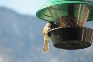 alimentare gli uccellini selvatici