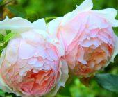 coltivare le Rose antiche