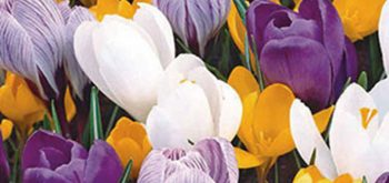 crocus_mix