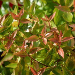 coltivare la Abelia - Le foglie in autunno