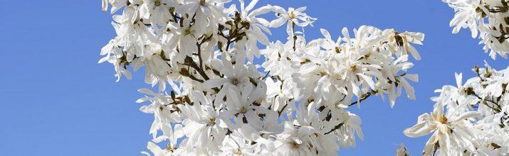 coltivare la Magnolia stellata