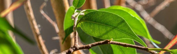 coltivare il Ficus benjamina