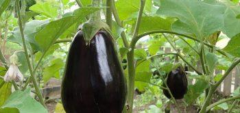 coltivare le Melanzane