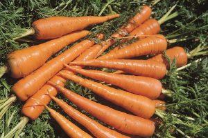 coltivare le Carote - Carota Saint Valery