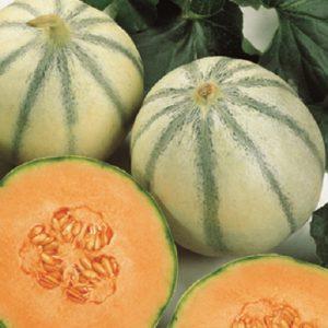 coltivare il Melone - Melone Cantalupo di Charentais