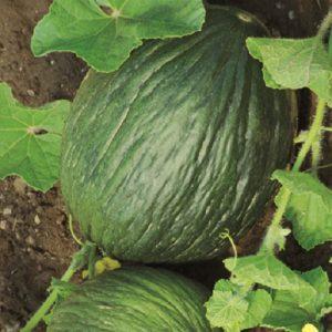 coltivare il Melone - Melone Tendral Tardivo