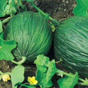 coltivare il Melone - Melone Valenciano Temprano