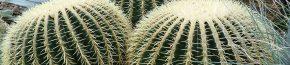 coltivare un Echinocactus