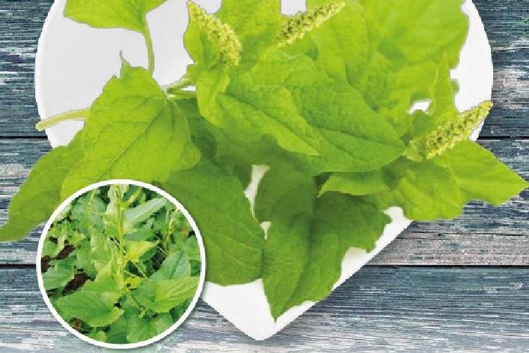 Coltivare gli Spinaci - Buon Enrico o Spinacio di Montagna